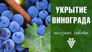 Как укрыть виноград на зиму? Подмосковье(Как укрывать виноград на зиму в средней полосе? Часто спрашивают нас зрители #ХитсадТВ. Подробнее о укрывно..., 2016-10-14T13:43:39.000Z)