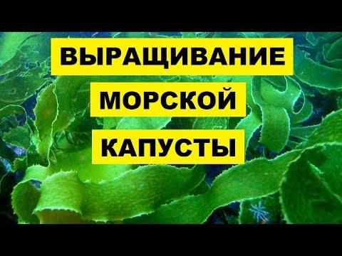 Выращивание морской капусты в домашних условиях