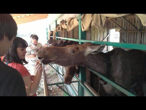 Сумароковская лосеферма – кормим лосей морковкой