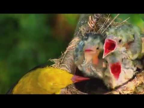 Sielmanns heimische Tiere - Der Pirol