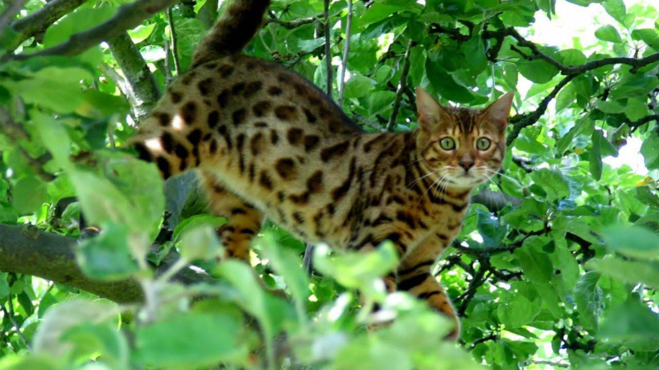 Бенгальский котёнок Ф1 или 50% азиатского леопардового кота .