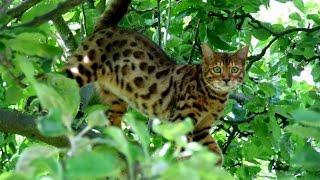Уход за Бенгальской кошкой, Породы кошек