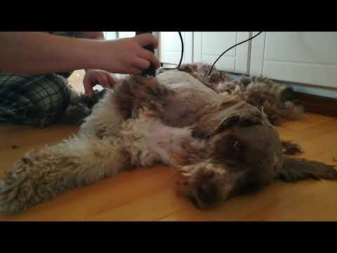 Trimming spanish water dog