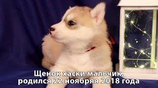Предлагаем щенка хаски мальчика серо-белого, родился 22 ноября 2018 года