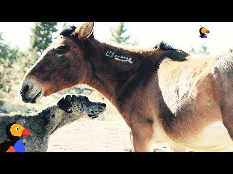 Great Dane Dog Befriends Wild Horses | The Dodo