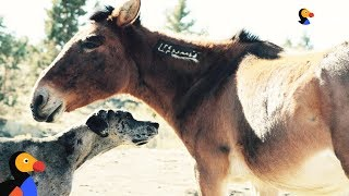 Great Dane Dog Befriends Wild Horses | The Dodo