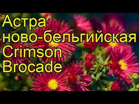 Астра новобельгийская Кримсон Брокаде. Краткий обзор, описание aster novi-belgii Crimson Brocade