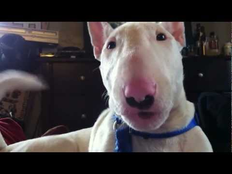 Zero the talking English Bull Terrier wakes me up