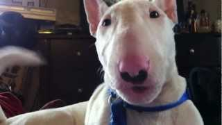 Talking Dog Wakes Me Up - English Bull Terrier