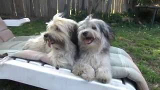 Havanese dogs are not couch potatoes.