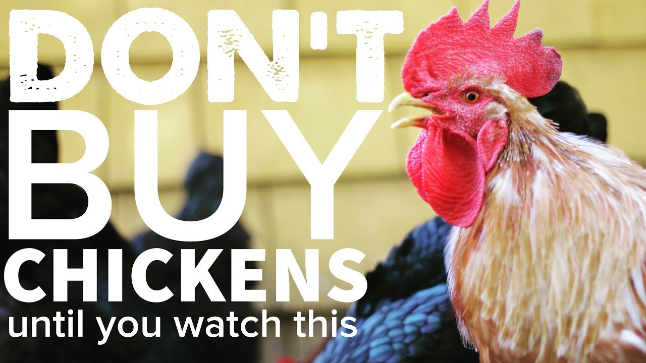DON'T BUY CHICKENS Until You Watch This