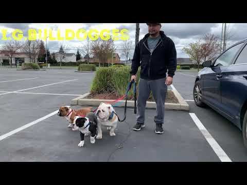 Olde English Bulldogge Puppies 16 Weeks Old
