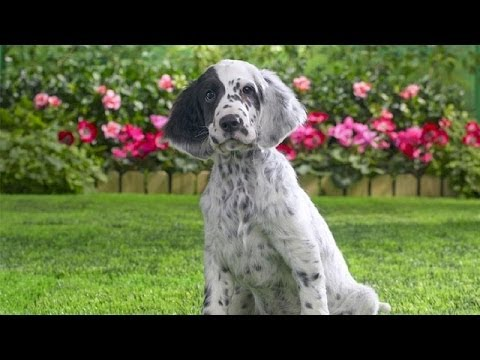 60 Seconds Of Cute English Setter Puppies!