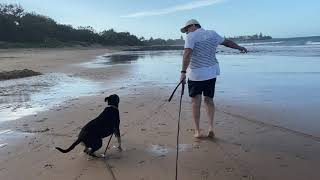 Cobber the rescue dog  training journey