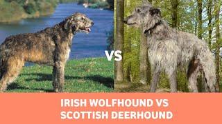 Irish Wolfhound vs Scottish Deerhound: Detailed Comparison