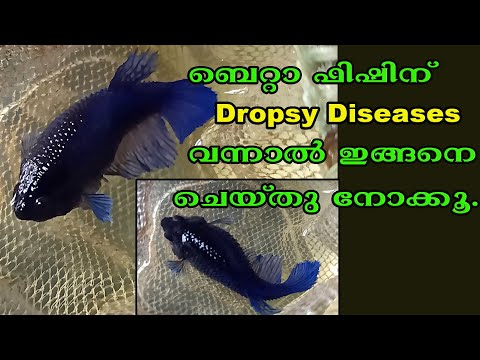 Betta Fish Disease # Dropsy Diseases # Fighter Fish Disease#Betta Care # Aqua Tales # Das Intermedia