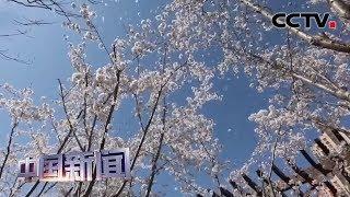 [中国新闻] 河北大厂:千亩樱花开 争俏百媚春 | CCTV中文国际
