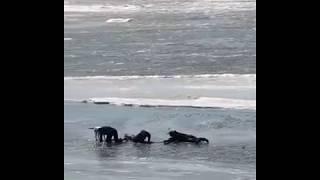 Три смельчака спасли провалившуюся под лед собаку в Хабаровске