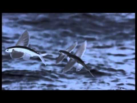 Bbc life flying fish youtube for Where do flying fish live
