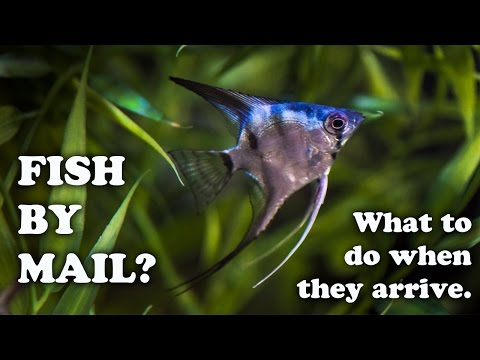 Angel Fish Shipped By Mail Order From AngelMania, Good Or Bad? Unboxing Tropical Fish By Mail
