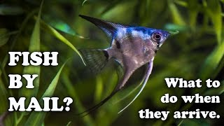 Angel Fish Shipped By Mail Order From Angelmania Good Or Bad Unboxing Tropical Fish By Mail Youtube