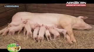 AGRITV USAPANG BABOY FARROW TO FINISH OPERATIONS JULY 3 2016