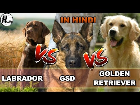 Labrador Retriever VS German Shepherd Dog VS Golden Retriever | COMPARISON | DOG VS DOG