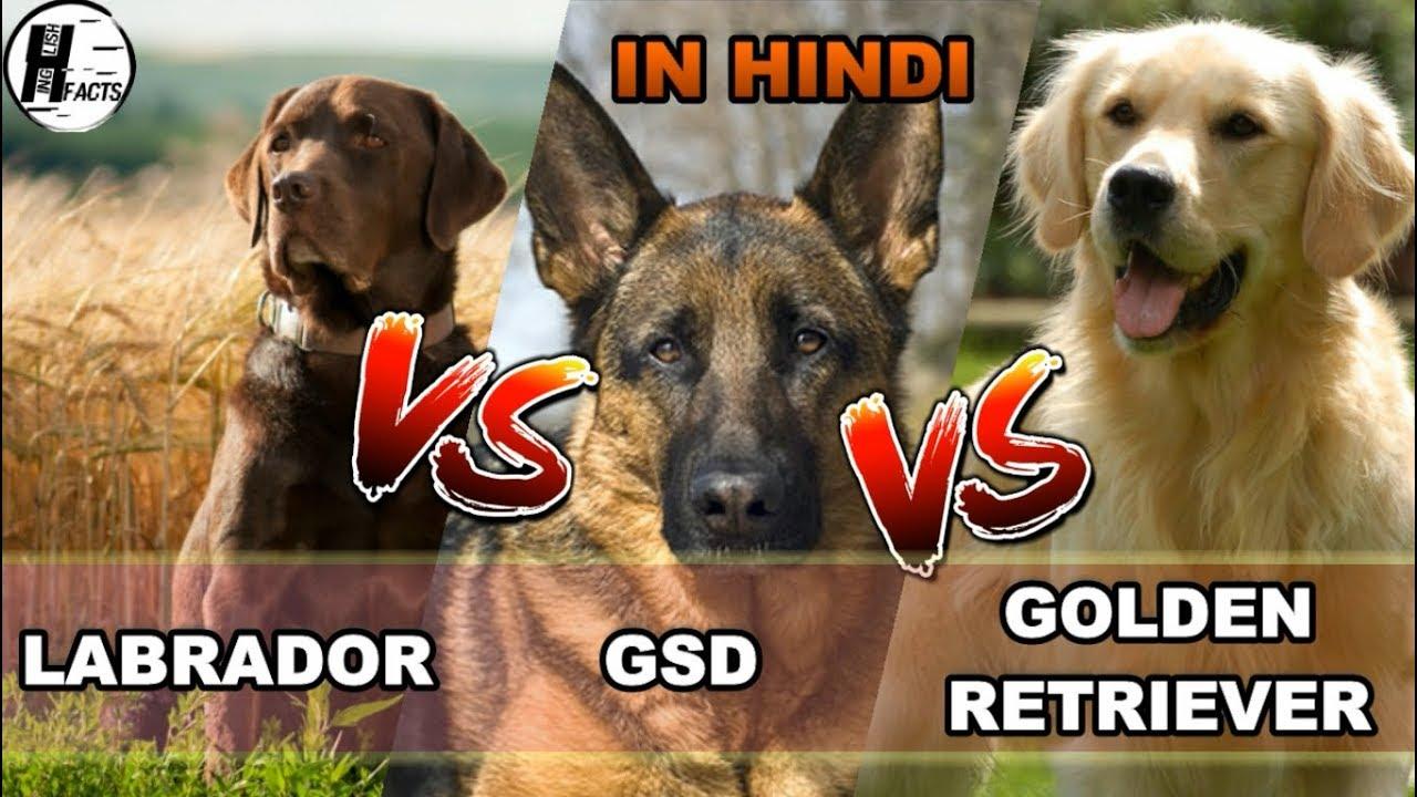 Labrador Retriever Vs German Shepherd Dog Vs Golden Retriever