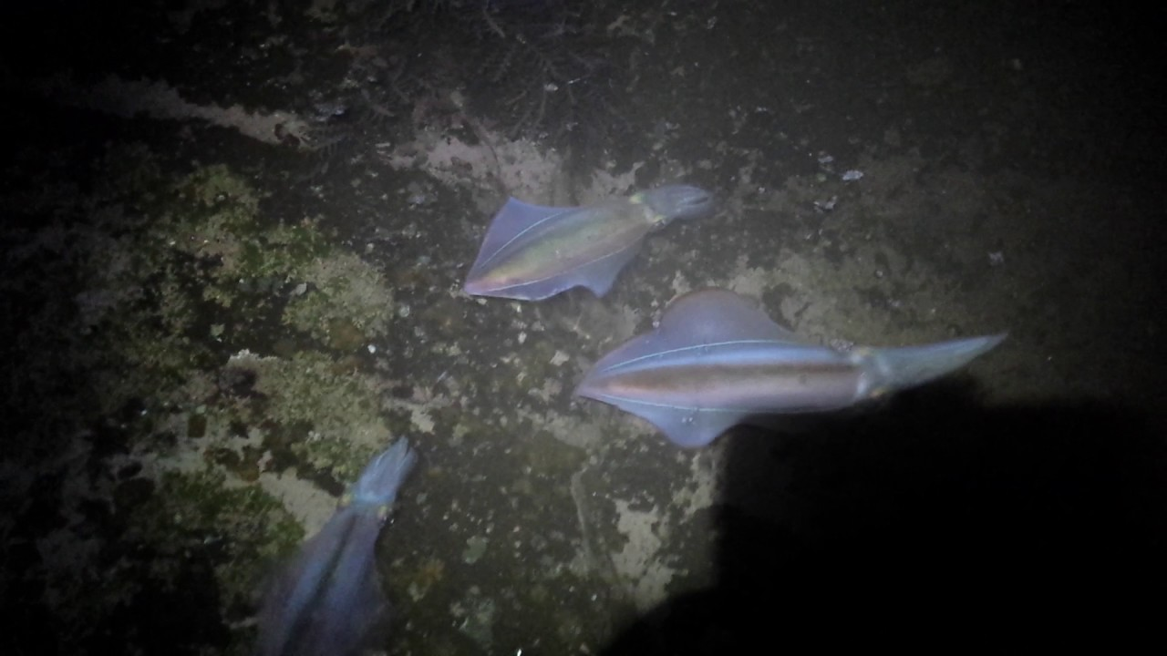 Squid fishing from shore New Zealand live squid (east ...