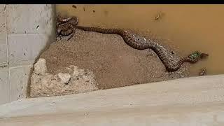''파충류''뱀이다! 강원홍천뱀은붉그 스래한가? (독사…