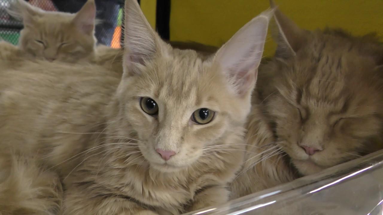 Хотите завести котенка?. Возьмите по объявлению на сайте газеты презент. Сотни беспородных котят и породистых кошек и котов ждут вас.