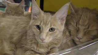 выставка кошек 2017 часть 4 семейство мейн кун