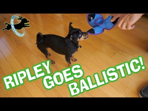 Ripley Goes Ballistic:  Solving Kong's Dog Puzzle Game with a Smart Trick