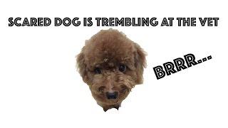 Scared Dog is Shaking at the Vet...BRRR.... : うちのトイプードル、予防接種でガクガクブルブル。。