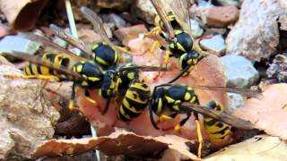 Wasps Gathering Food (meat)
