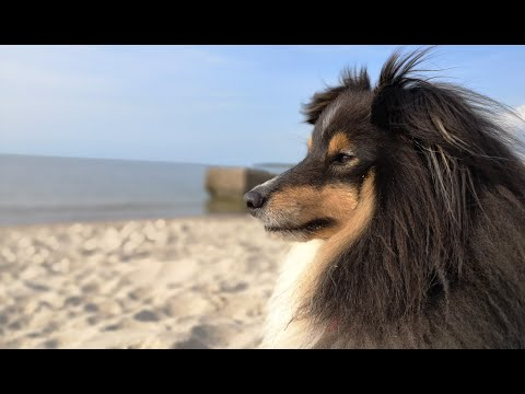 Sheltie Doris & best dog tricks!