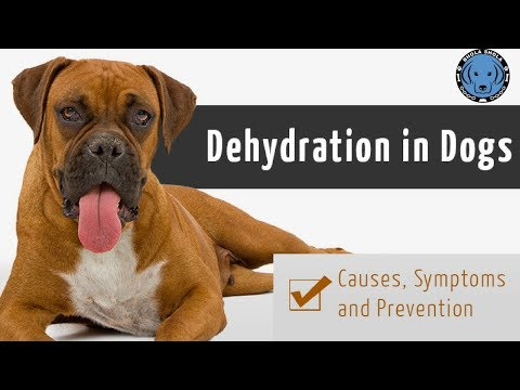 Pet Care - Dehydration For Dog/Cats - Bhola Shola