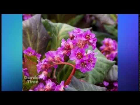 Plant Pick - Bergenia Albendglut - Evening Glow