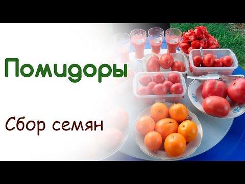 Собираем семена любимых сортов помидоров. Основные приемы легкого способа добыть качественные семена