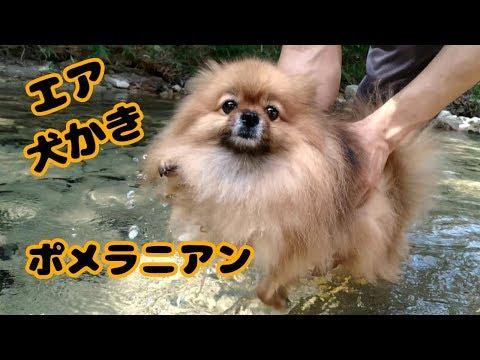 エア犬かき【ポメラニアン】