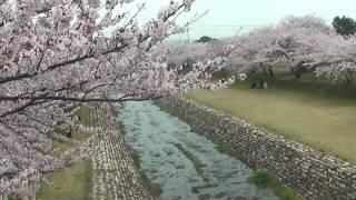 海津市 「羽根谷だんだん公園」 ~桜~