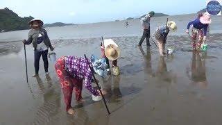 Bắt ốc Móng Tay về xào xa tế phát hiện bãi bắt mới đông như hội chợ/Vietnamese seafood