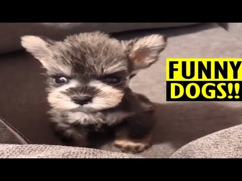 🔴 🐶 Most Adorable Schnauzer Puppy on Earth!!🤣 | 🐶 FUNNY DOG VIDEO COMPILATION 9 [2019]