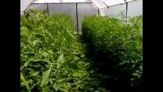 видео Почему трескаются томаты