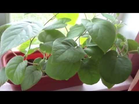 Как растет киви(посадил 2 месяца назад)