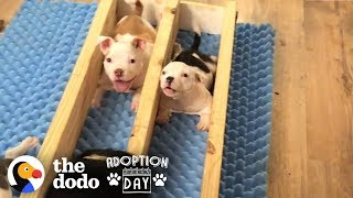 Watch This Little Roly-Poly Baby Pit Bull Grow Up And Get Adopted! | The Dodo Adoption Day