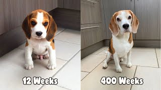 My Beagle Dog from 12 weeks to 8 Years old in under 3 minutes : LOUIE THE BEAGLE