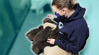 How We Take Care of Baby Penguins At The Aquarium