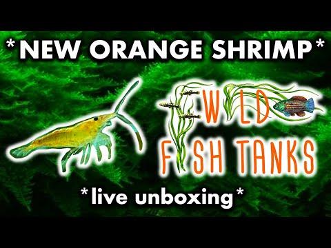 *NEW ORANGE SHRIMP (neocaridina)* From WILD FISH TANKS