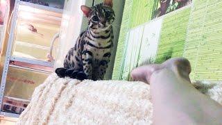 Бенгальский кот Гуся оказывается ласковый!